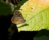 Speckled Wood butterfly closed wings poster