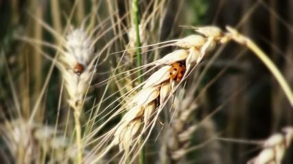 Marienkäfer und Getreide