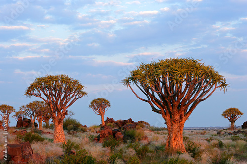 canvas print picture Desert landscape with quiver trees (Aloe dichotoma), Namibia