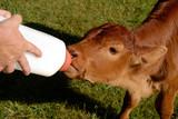 Orphan Bull Calf poster