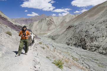 A woman hiking with mules in Markha Valley, Ladakh. India