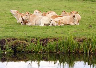resting dutch cows