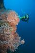 Taucher schwimmt hinter einer Gorgonie,