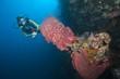 Taucher schwimt hinter einem Fassschwamm, Indonesien