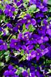 Blütenmeer von Clematis