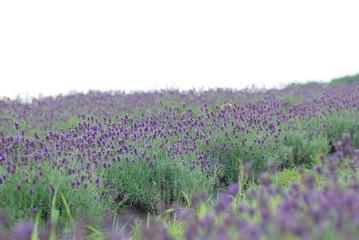 ラベンダーの畑