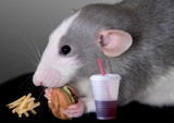 Rat eating fast food poster