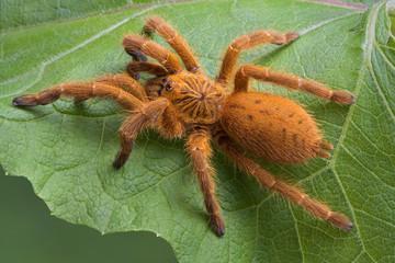 Orange tarantula