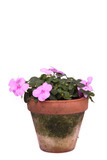 Forget me nots in a terracotta pot over a white background. poster