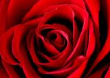 Fototapeta róże - celebracja - Kwiat