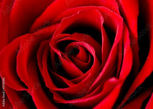 Fotobehang Rozen rose of love