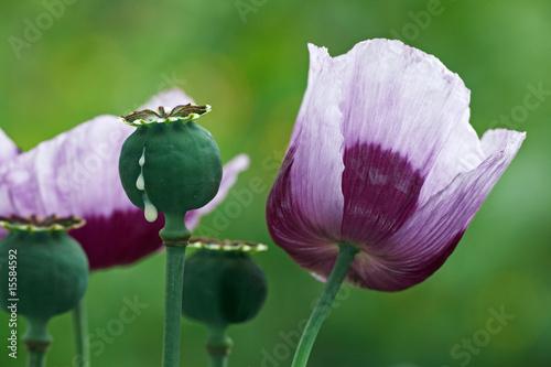 In de dag Poppy opium poppy, cut