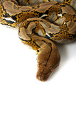 Reticulated Python poster