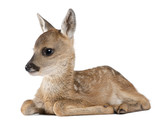 roe deer Fawn lying down - Capreolus capreolus (15 days old)