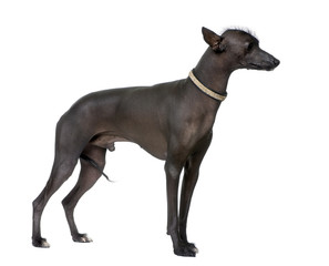 Peruvian Hairless Dog (18 months old)
