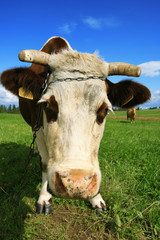 Portrait of a cow