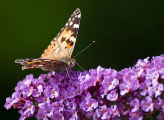 Schmetterling C-Fuchs