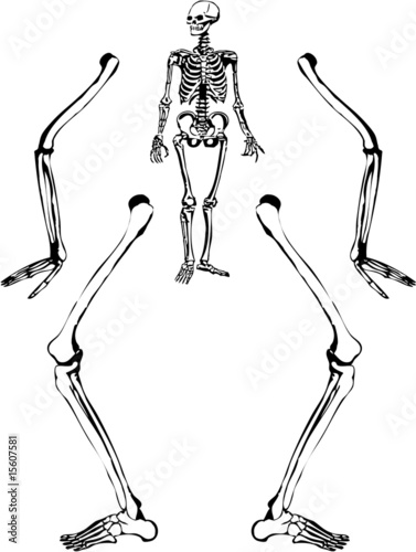 Human skeleton drawing