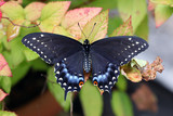 Black swallowtail butterfly male
