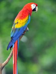 scarlet macaw, panama