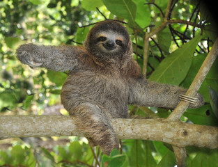 three toed sloth, nicaragua