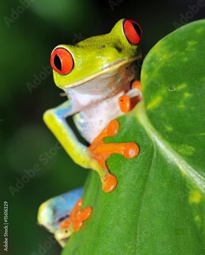 Zdjęcia na płótnie, fototapety na wymiar, obrazy na ścianę : red eyed green tree frog looking, costa rica