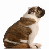 brindle and white english bulldog sitting with reflection poster