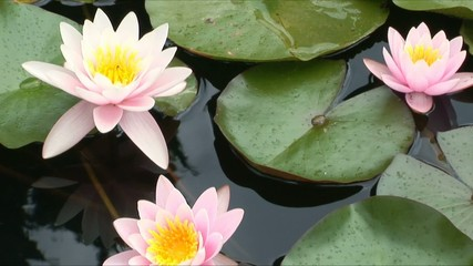 Beautiful water-lilies in a pond