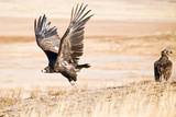 Black Vulture taking off