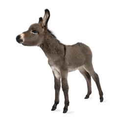 donkey foal (2 months)