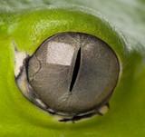 Fototapeta żaba - szczegół - Gady/Płaz