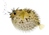 Long-spine porcupinefish also know as spiny balloonfish (fish) - poster