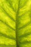 green leaf with veins macro poster