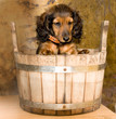 roleta: dachshund puppy