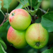 Green English apples, with a red blush, ripening on a tree