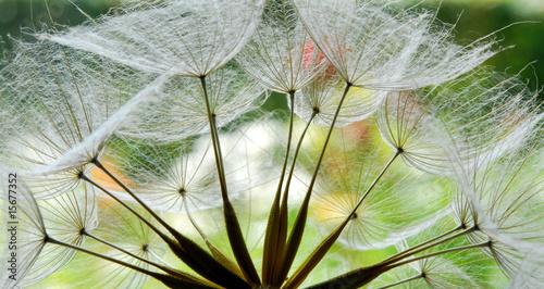 Naklejka dandelion