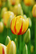 tulip - color - flower