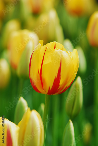 tulip - color - flower - 15684155