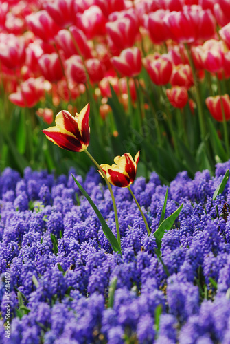 tulip - color - flower - 15684157