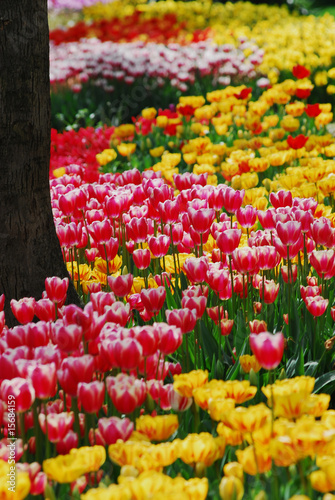 Tulip - color - flower - 15684159