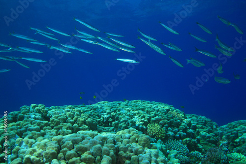 Shoal of Yellowtail Barracuda swims over  Coral Reef