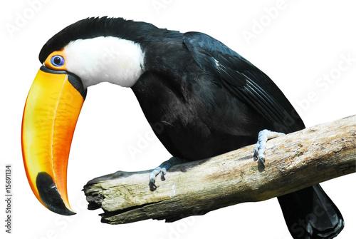 Foto op Aluminium Toekan Détourage d'un toucan toco sur une branche