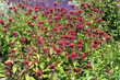 Monarda, hybrida, Gardenview scarlet