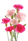 colorful carnations