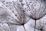 Fototapety dandelion seeds
