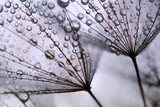 dandelion seeds - 15712770