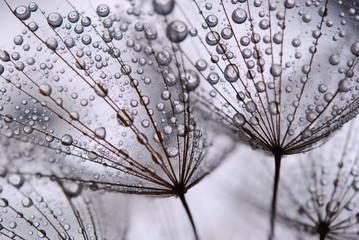 dandelion seeds © Anette Linnea Rasmus