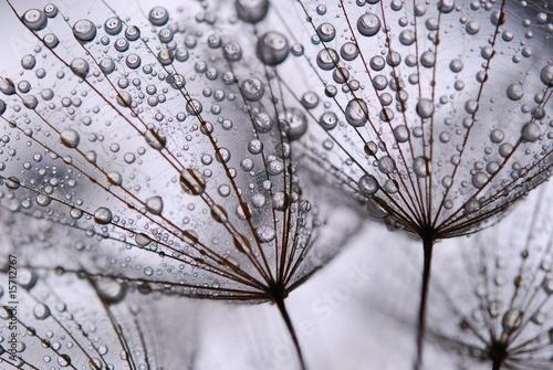 dandelion seeds - 15712767