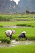 Rizière, Culture du riz