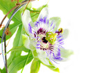 Purple Passionflower on a white background